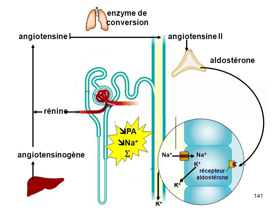 141 rénine angiotensinogène angiotensine I Na + K+K+ K+K+ récepteur aldostérone angiotensine II enzyme de conversion Na + K+K+ K+K+ K+K+ récepteur aldostérone  PA  Na + 