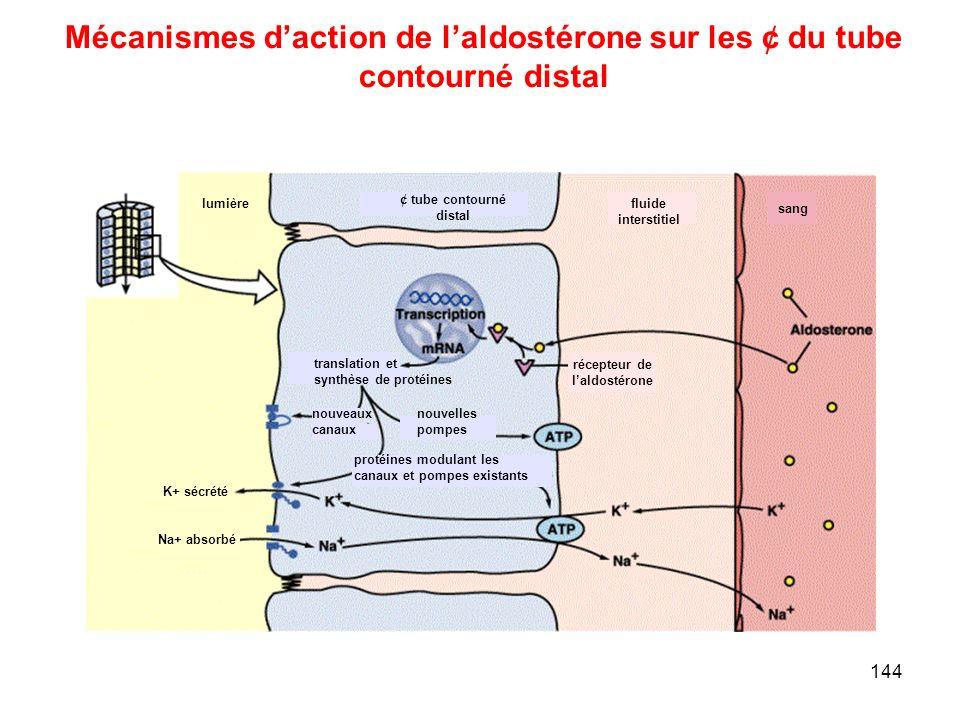144 Mécanismes d'action de l'aldostérone sur les ¢ du tube contourné distal lumière ¢ tube contourné distal fluide interstitiel sang récepteur de l'aldostérone translation et synthèse de protéines protéines modulant les canaux et pompes existants nouvelles pompes nouveaux canaux K+ sécrété Na+ absorbé