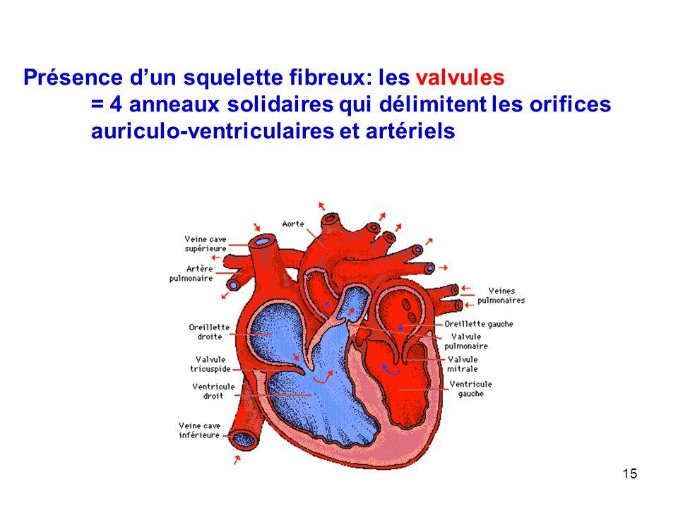 15 Présence d'un squelette fibreux: les valvules = 4 anneaux solidaires qui délimitent les orifices auriculo-ventriculaires et artériels