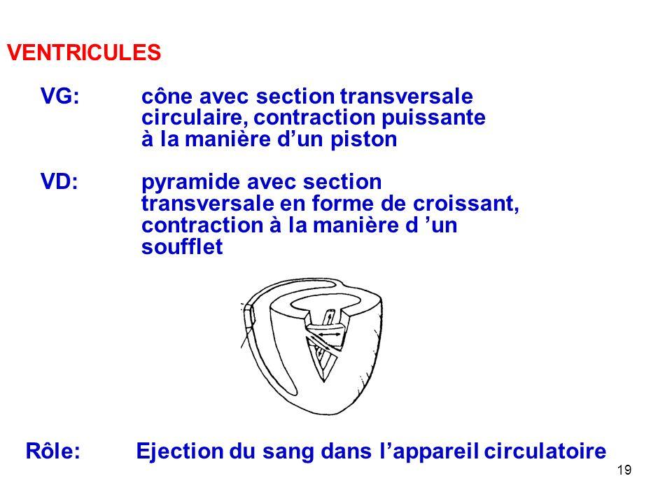 19 VENTRICULES VG:cône avec section transversale circulaire, contraction puissante à la manière d'un piston VD:pyramide avec section transversale en forme de croissant, contraction à la manière d 'un soufflet Rôle: Ejection du sang dans l'appareil circulatoire