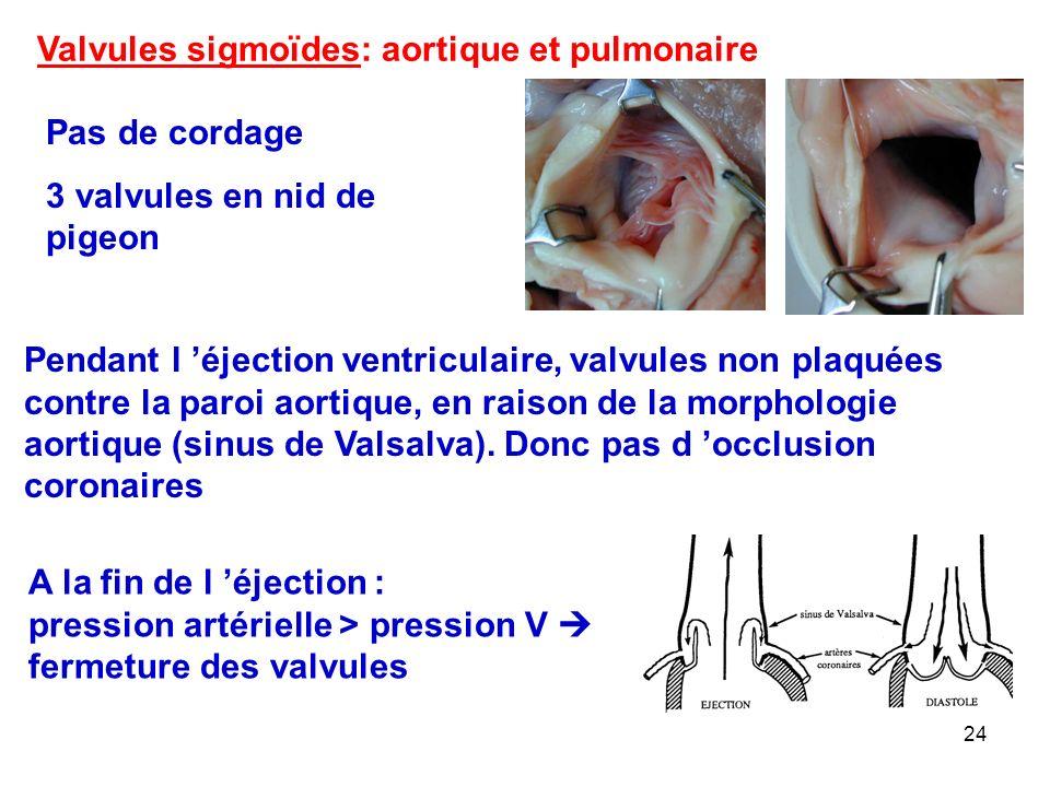 24 Pendant l 'éjection ventriculaire, valvules non plaquées contre la paroi aortique, en raison de la morphologie aortique (sinus de Valsalva).