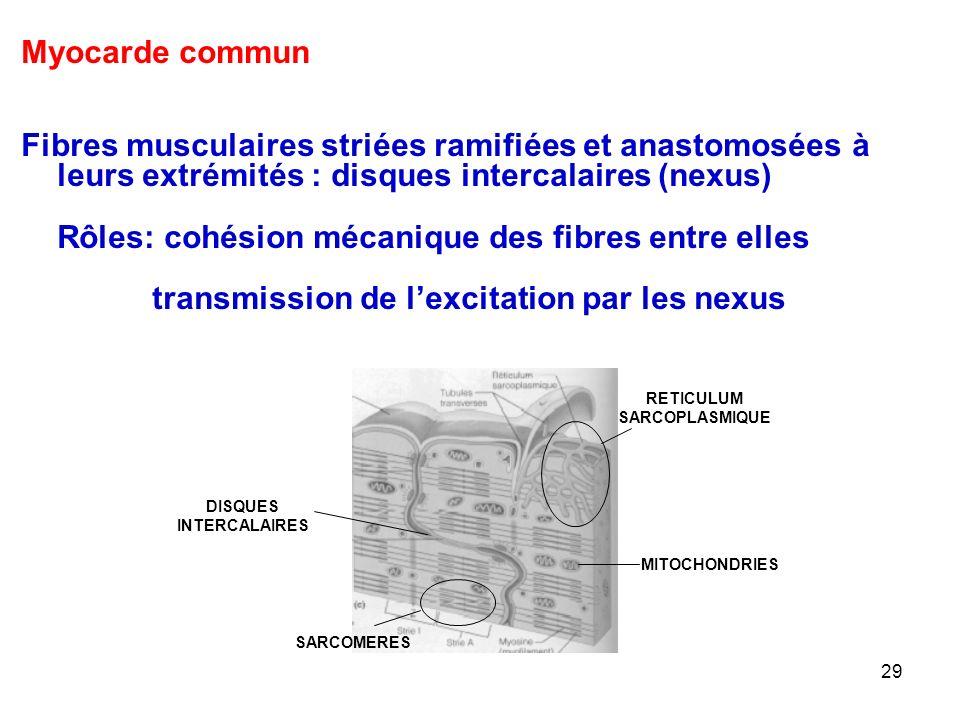 29 Myocarde commun Fibres musculaires striées ramifiées et anastomosées à leurs extrémités : disques intercalaires (nexus) Rôles: cohésion mécanique des fibres entre elles transmission de l'excitation par les nexus MITOCHONDRIES SARCOMERES DISQUES INTERCALAIRES RETICULUM SARCOPLASMIQUE