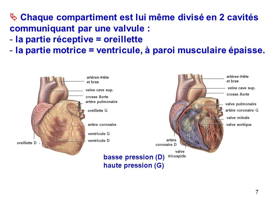 7  Chaque compartiment est lui même divisé en 2 cavités communiquant par une valvule : - la partie réceptive = oreillette - la partie motrice = ventricule, à paroi musculaire épaisse.