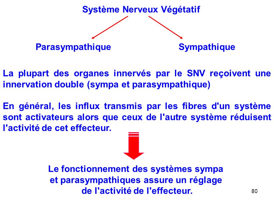 80 La plupart des organes innervés par le SNV reçoivent une innervation double (sympa et parasympathique) En général, les influx transmis par les fibres d un système sont activateurs alors que ceux de l autre système réduisent l activité de cet effecteur.