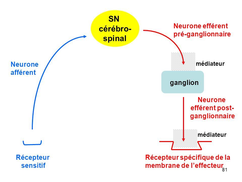 81 SN cérébro- spinal Récepteur sensitif Neurone afférent ganglion Neurone efférent pré-ganglionnaire Récepteur spécifique de la membrane de l'effecteur médiateur Neurone efférent post- ganglionnaire