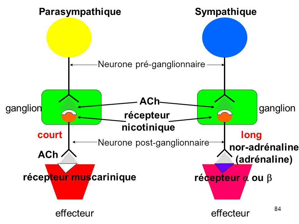 84 ParasympathiqueSympathique Neurone pré-ganglionnaire Neurone post-ganglionnaire ganglion effecteur ganglion effecteur récepteur nicotinique ACh récepteur muscarinique récepteur  ou  ACh nor-adrénaline (adrénaline) courtlong