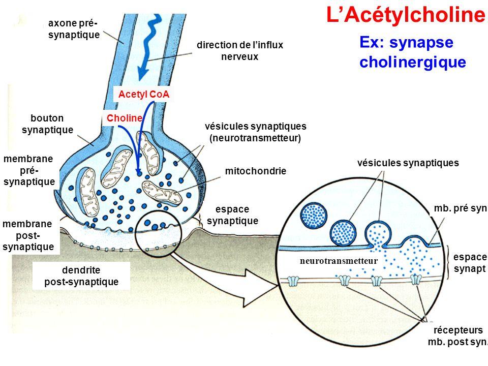 86 axone pré- synaptique direction de l'influx nerveux bouton synaptique vésicules synaptiques (neurotransmetteur) mitochondrie membrane pré- synaptique membrane post- synaptique dendrite post-synaptique espace synaptique membrane post- synaptique membrane post- synaptique récepteurs mb.
