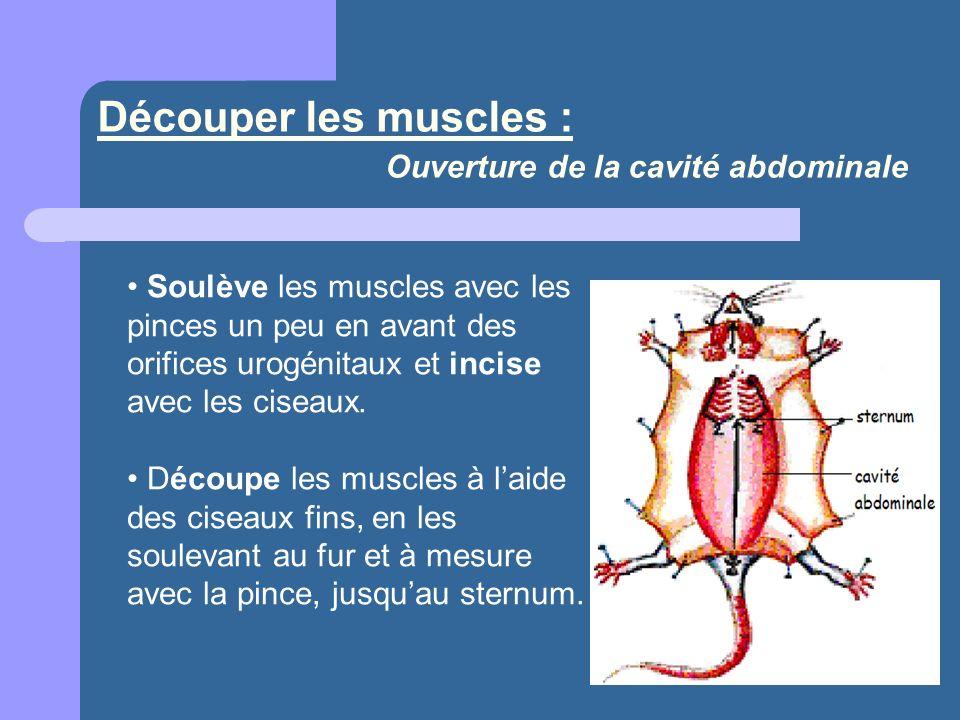 Découper les muscles : Ouverture de la cavité abdominale Soulève les muscles avec les pinces un peu en avant des orifices urogénitaux et incise avec les ciseaux.