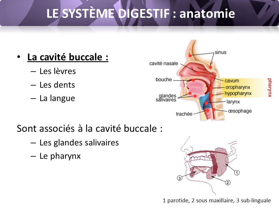 LE SYSTÈME DIGESTIF : anatomie La cavité buccale : – Les lèvres – Les dents – La langue Sont associés à la cavité buccale : – Les glandes salivaires – Le pharynx 1 parotide, 2 sous maxillaire, 3 sub-linguale