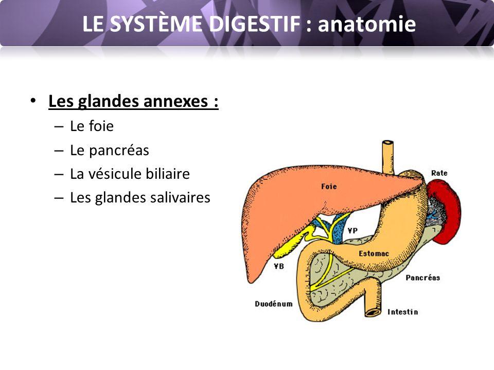 LE SYSTÈME DIGESTIF : anatomie Les glandes annexes : – Le foie – Le pancréas – La vésicule biliaire – Les glandes salivaires
