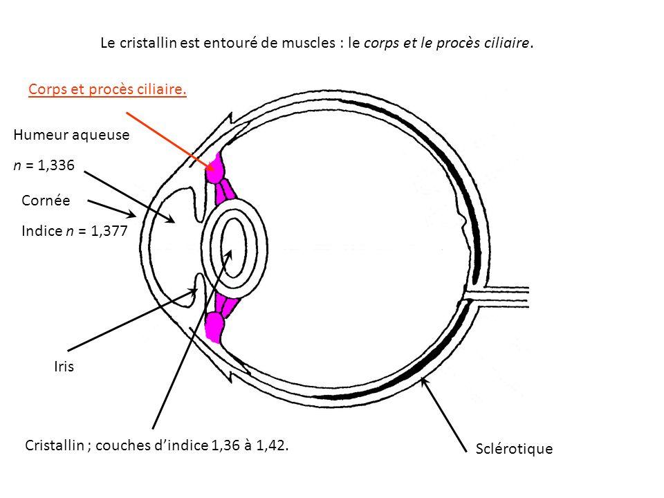Le cristallin est entouré de muscles : le corps et le procès ciliaire.