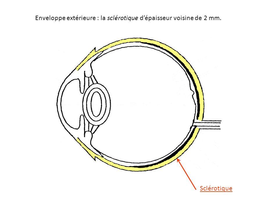 Enveloppe extérieure : la sclérotique d'épaisseur voisine de 2 mm. Sclérotique
