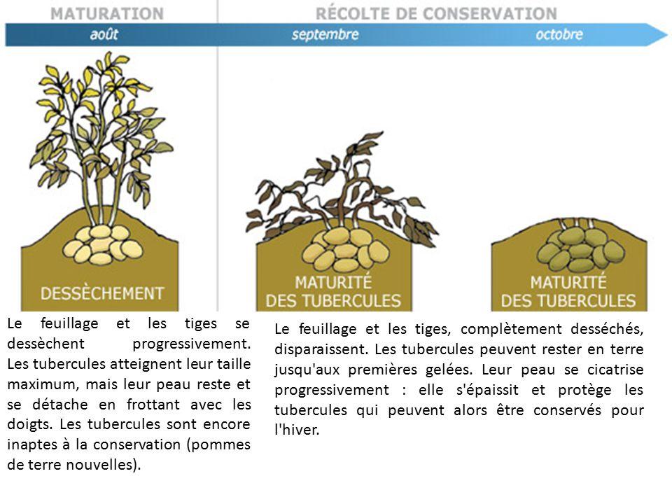 le cycle de vie de la pomme de terre. les germes courts et trapus