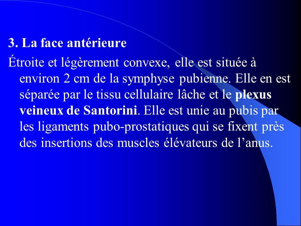 3. La face antérieure Étroite et légèrement convexe, elle est située à environ 2 cm de la symphyse pubienne. Elle en est séparée par le tissu cellulai