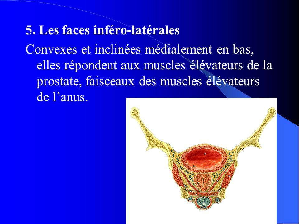 Dr. A. BAYOUD 5. Les faces inféro-latérales Convexes et inclinées médialement en bas, elles répondent aux muscles élévateurs de la prostate, faisceaux