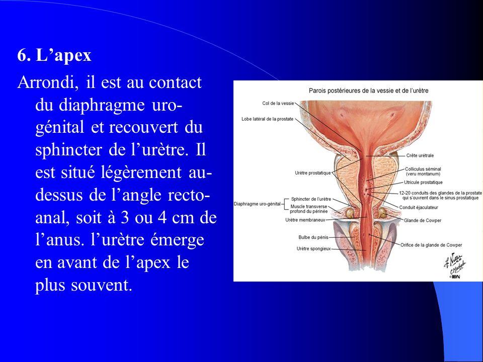 6. L'apex Arrondi, il est au contact du diaphragme uro- génital et recouvert du sphincter de l'urètre. Il est situé légèrement au- dessus de l'angle r