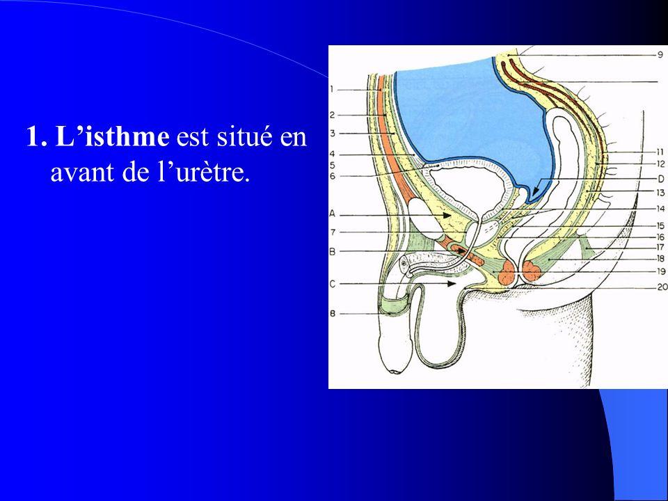 1. L'isthme est situé en avant de l'urètre.