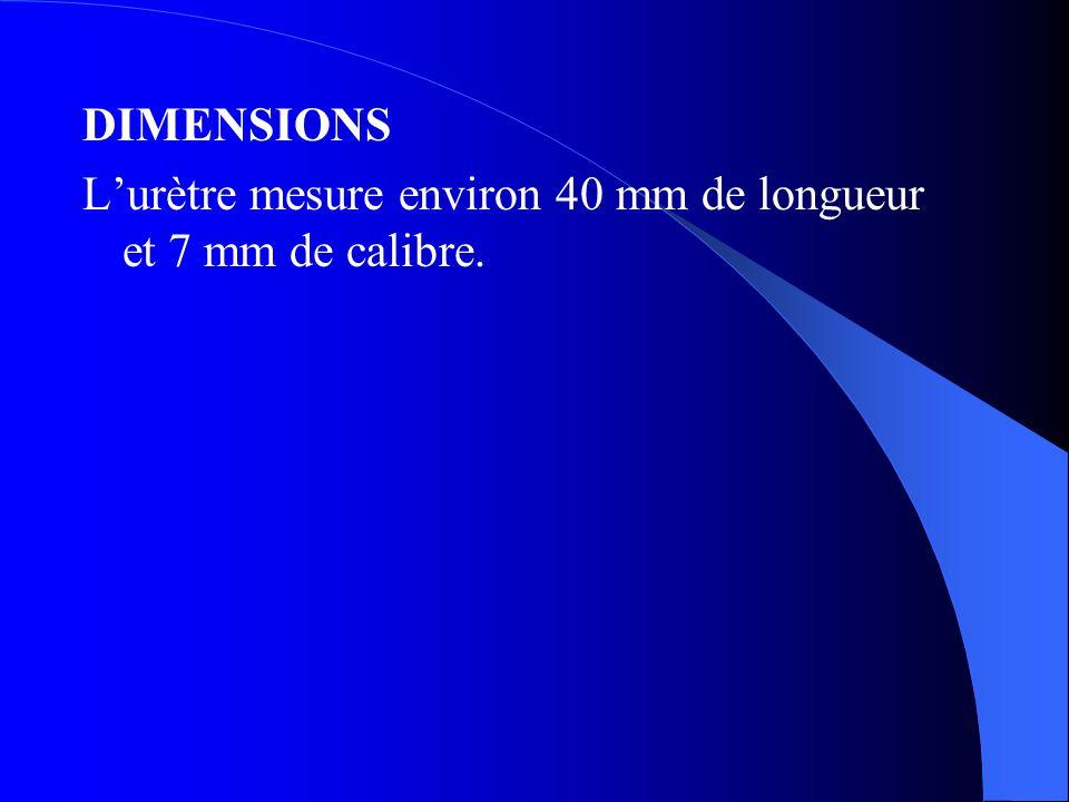 DIMENSIONS L'urètre mesure environ 40 mm de longueur et 7 mm de calibre.