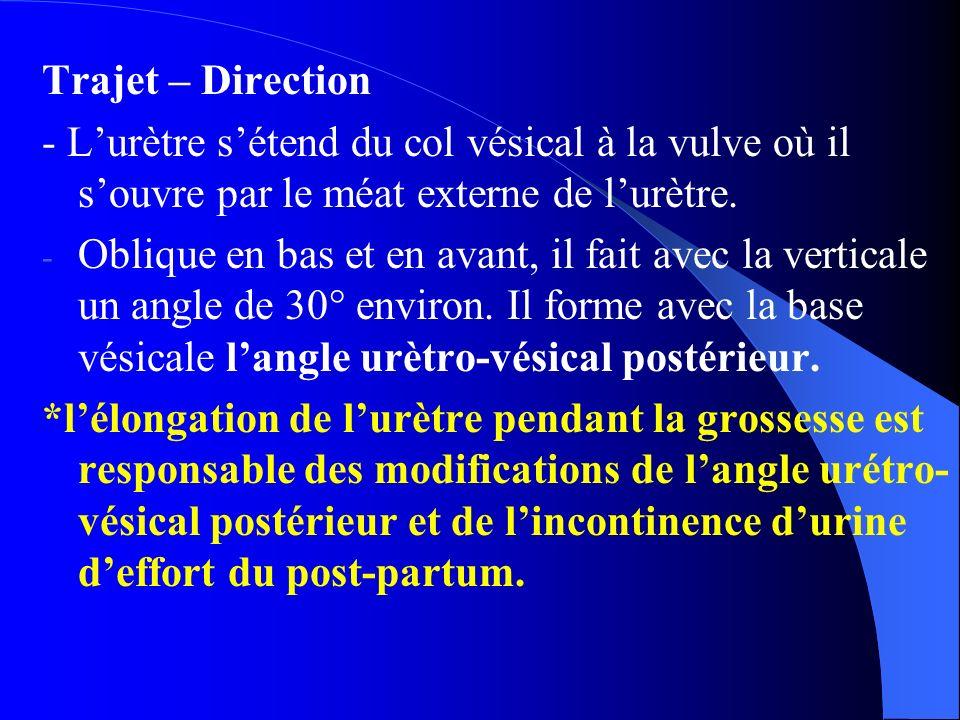 Trajet – Direction - L'urètre s'étend du col vésical à la vulve où il s'ouvre par le méat externe de l'urètre. - Oblique en bas et en avant, il fait a