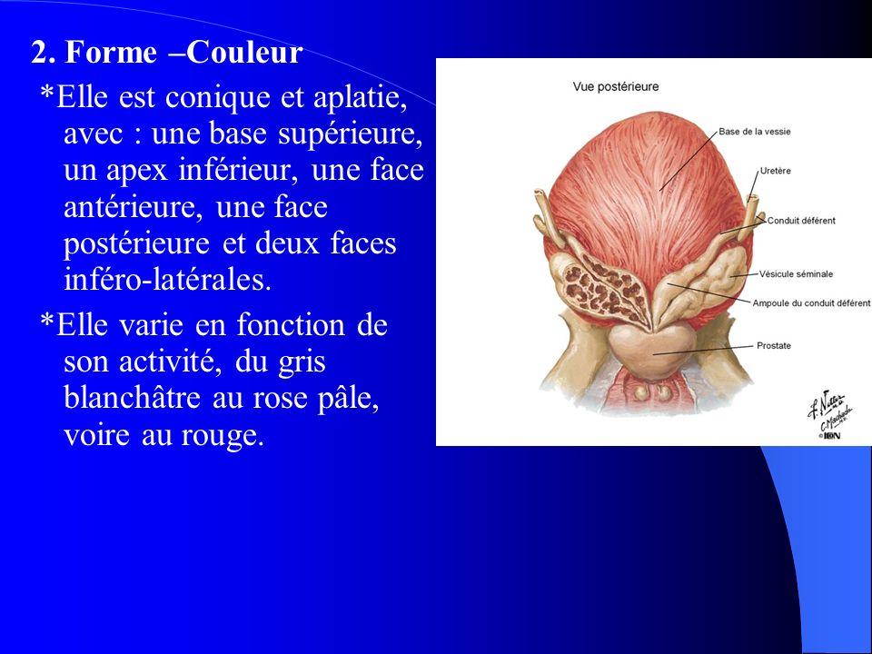 2. Forme –Couleur *Elle est conique et aplatie, avec : une base supérieure, un apex inférieur, une face antérieure, une face postérieure et deux faces