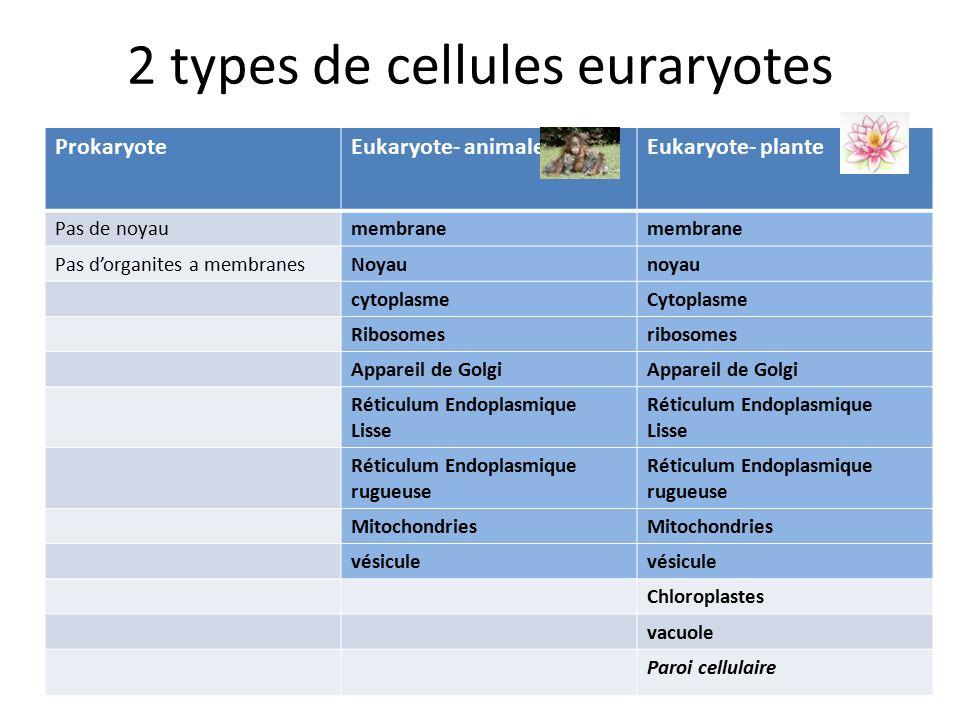 2 types de cellules euraryotes ProkaryoteEukaryote- animaleEukaryote- plante Pas de noyaumembrane Pas d'organites a membranesNoyaunoyau cytoplasmeCytoplasme Ribosomesribosomes Appareil de Golgi Réticulum Endoplasmique Lisse Réticulum Endoplasmique rugueuse Réticulum Endoplasmique rugueuse Mitochondries vésicule Chloroplastes vacuole Paroi cellulaire