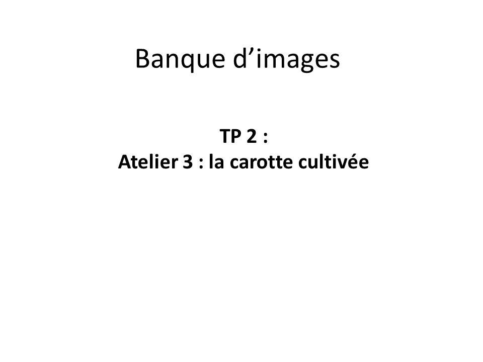 Banque d'images TP 2 : Atelier 3 : la carotte cultivée