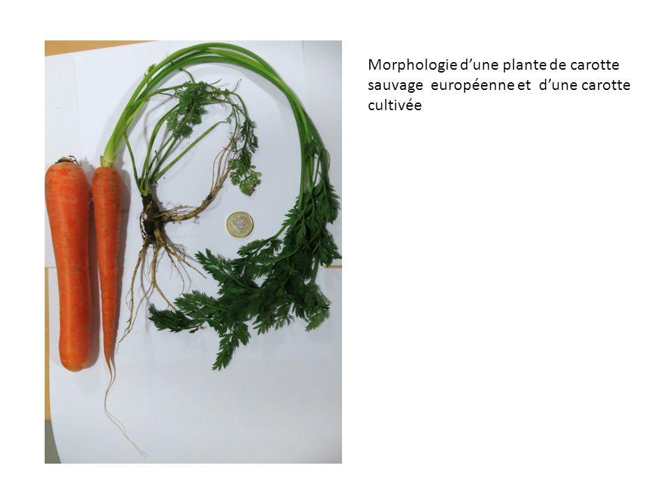 Morphologie d'une plante de carotte sauvage européenne et d'une carotte cultivée