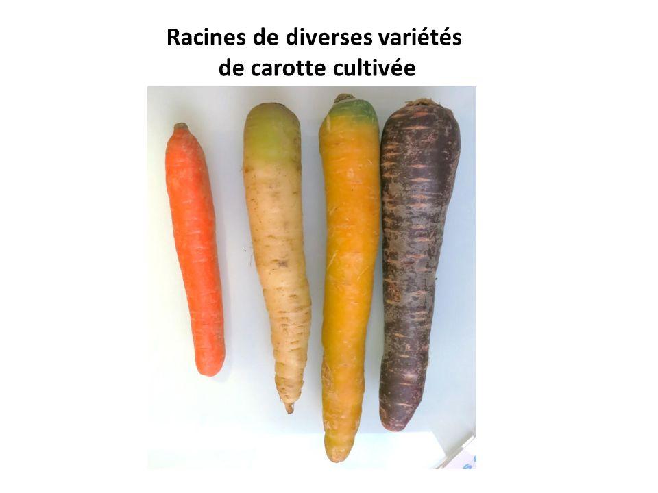 Racines de diverses variétés de carotte cultivée