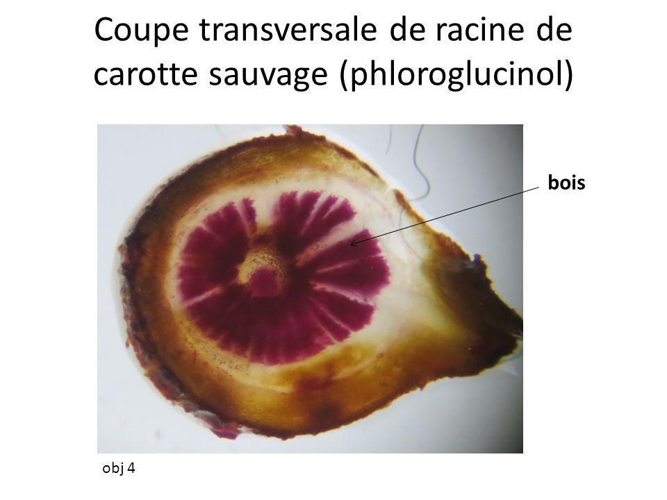 Coupe transversale de racine de carotte sauvage (phloroglucinol) obj 4 bois