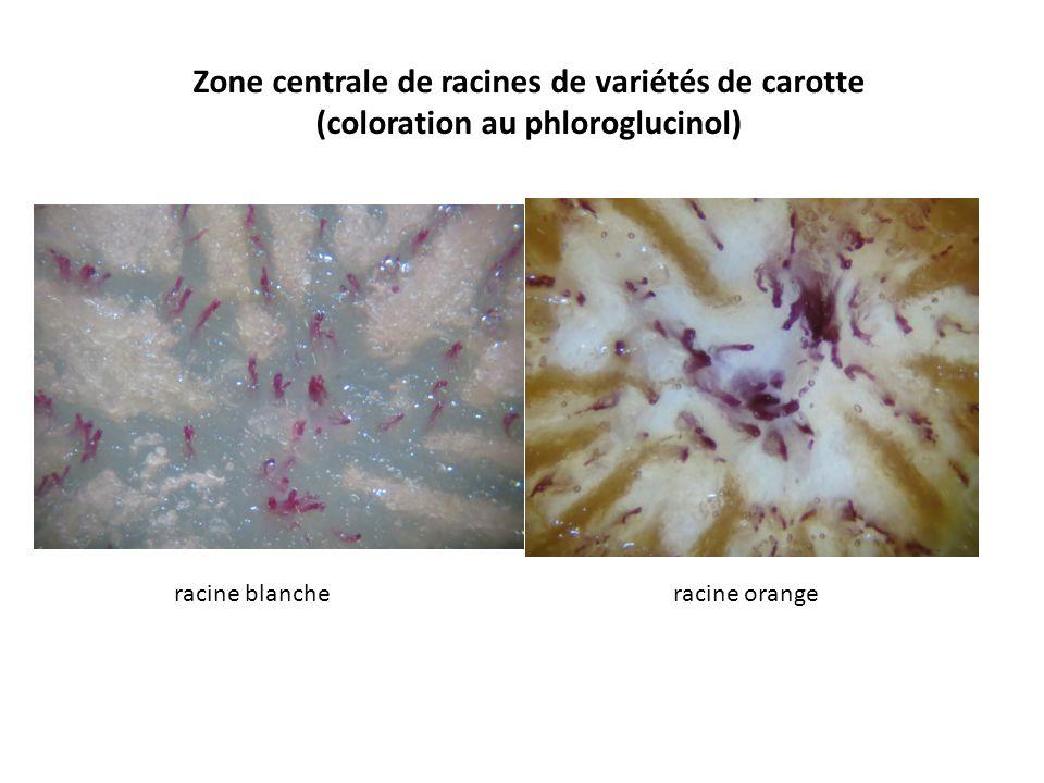 Zone centrale de racines de variétés de carotte (coloration au phloroglucinol) racine blanche racine orange