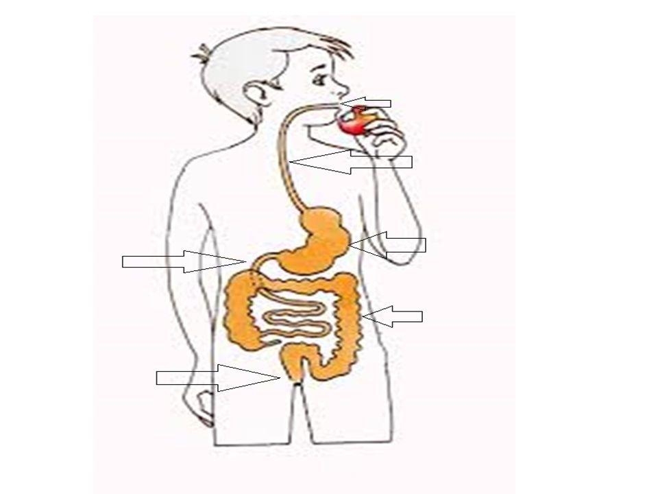 C'est l'ensemble d'organes traversés par les aliments. Le chemin des aliments