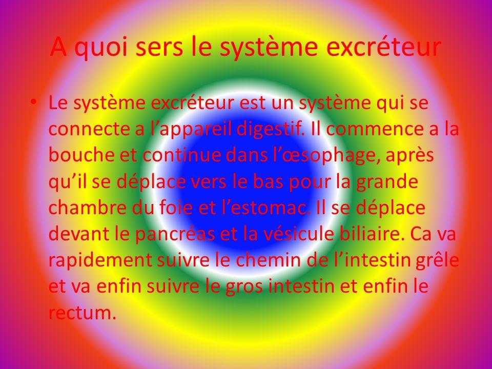 A quoi sers le système excréteur Le système excréteur est un système qui se connecte a l'appareil digestif.