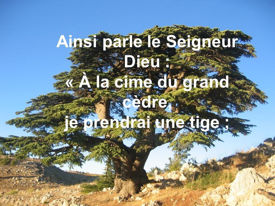Ainsi parle le Seigneur Dieu : « À la cime du grand cèdre, je prendrai une tige ;