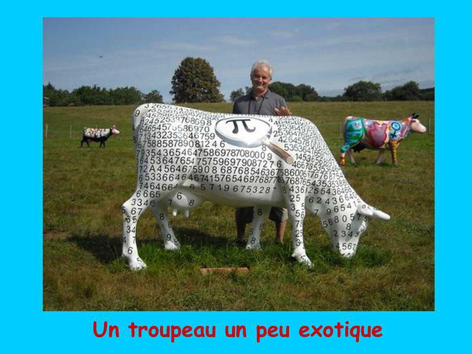 Des milliers de jolies vaches rousses