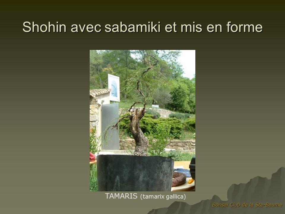 Bonsaï Club de la Ste-Baume Shohin avec sabamiki et mis en forme TAMARIS (tamarix gallica)