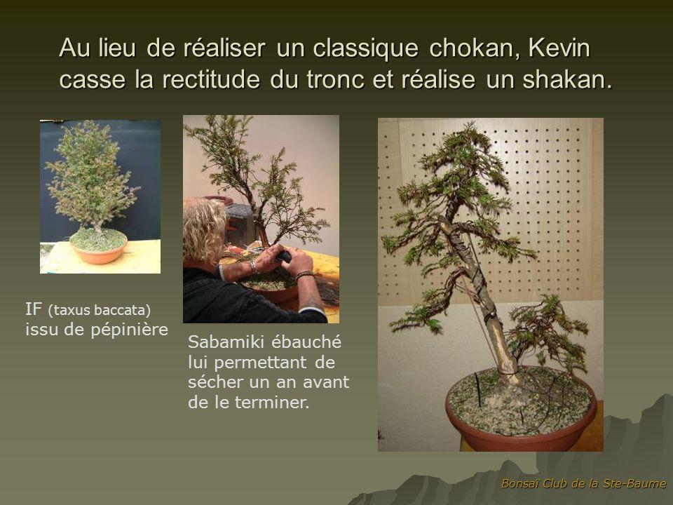 Bonsaï Club de la Ste-Baume Au lieu de réaliser un classique chokan, Kevin casse la rectitude du tronc et réalise un shakan. IF (taxus baccata) issu d