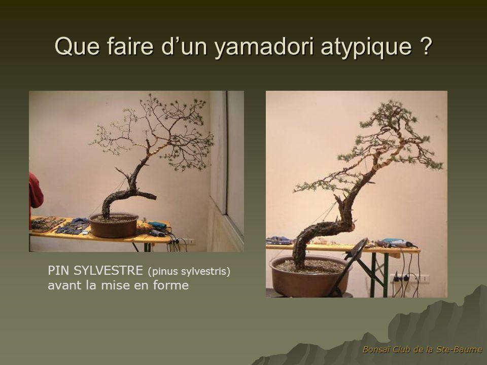 Bonsaï Club de la Ste-Baume Que faire dun yamadori atypique ? PIN SYLVESTRE (pinus sylvestris) avant la mise en forme