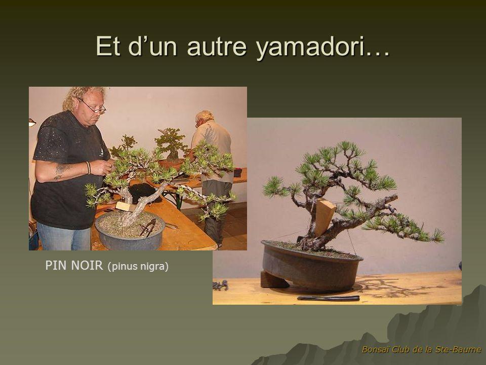 Bonsaï Club de la Ste-Baume Et dun autre yamadori… PIN NOIR (pinus nigra)