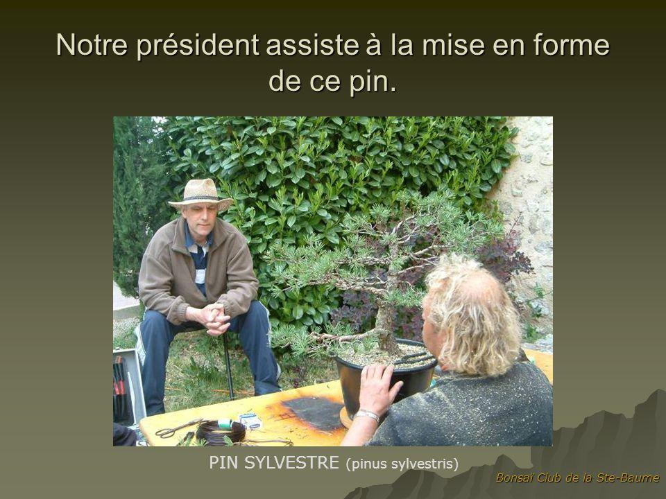 Bonsaï Club de la Ste-Baume Notre président assiste à la mise en forme de ce pin. PIN SYLVESTRE (pinus sylvestris)