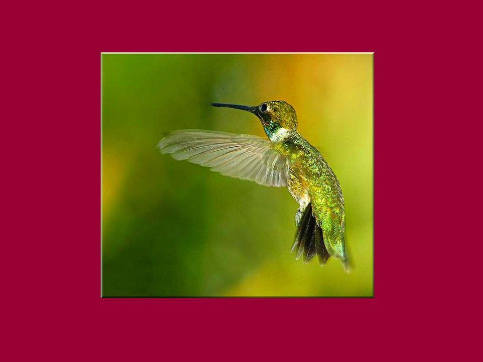 Mais alors... son rêve!. Le petit oiseau se mira dans une mare de rosée et vit le changement.