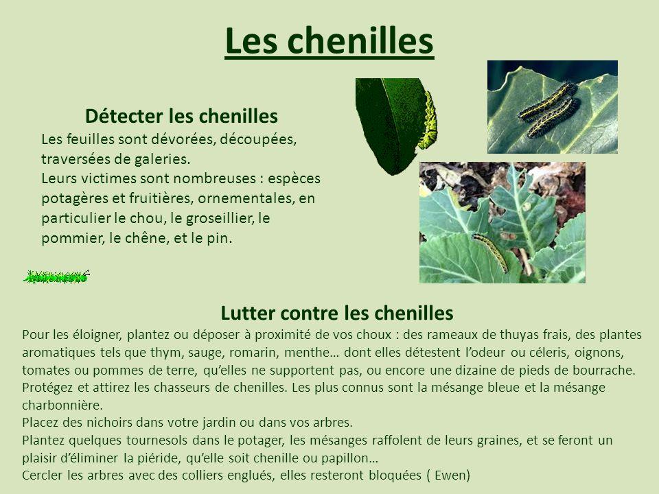 Les chenilles Lutter contre les chenilles Pour les éloigner, plantez ou déposer à proximité de vos choux : des rameaux de thuyas frais, des plantes ar