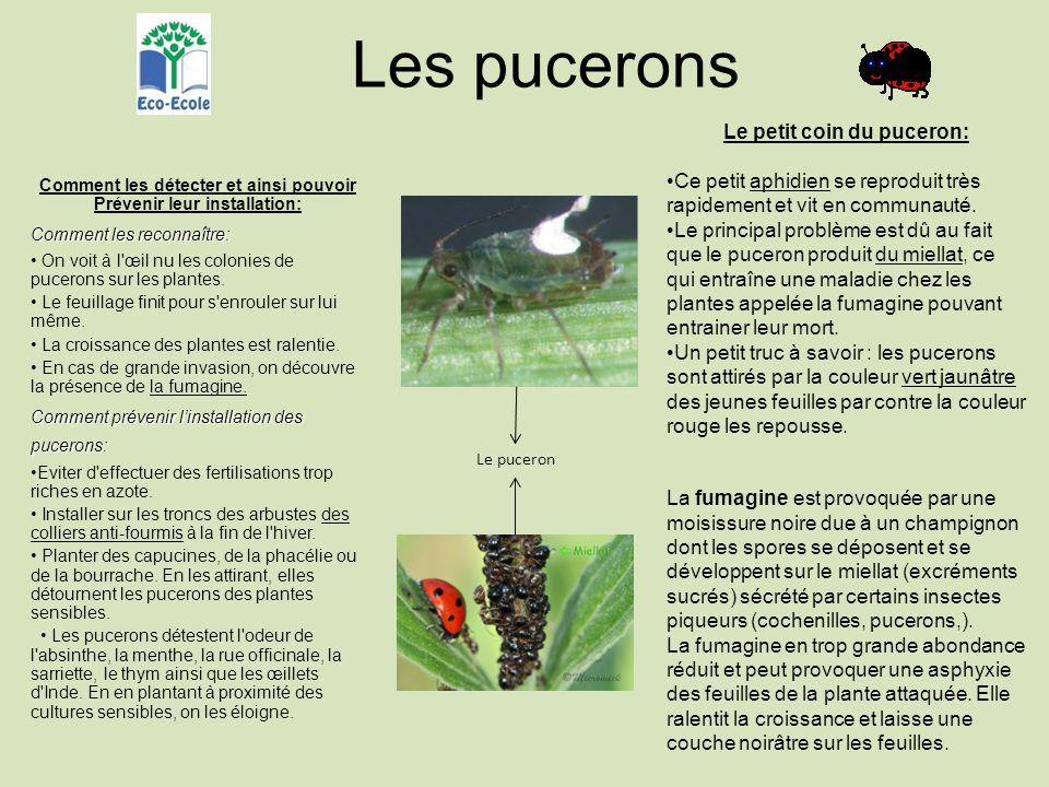 Les pucerons Comment les détecter et ainsi pouvoir Prévenir leur installation: Comment les reconnaître: On voit à l œil nu les colonies de pucerons sur les plantes.