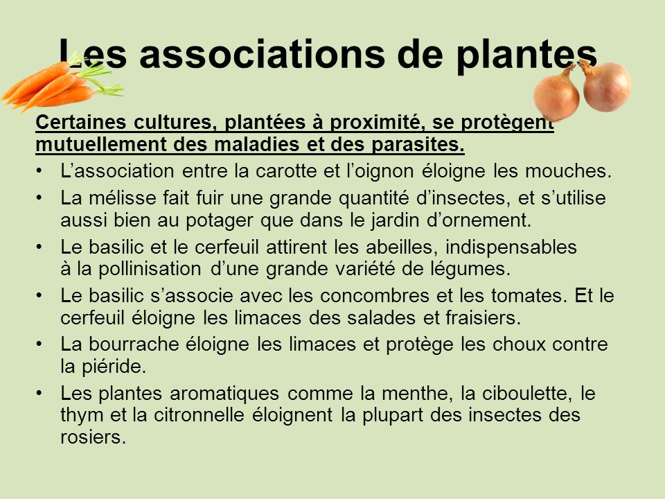 Les associations de plantes Certaines cultures, plantées à proximité, se protègent mutuellement des maladies et des parasites. Lassociation entre la c