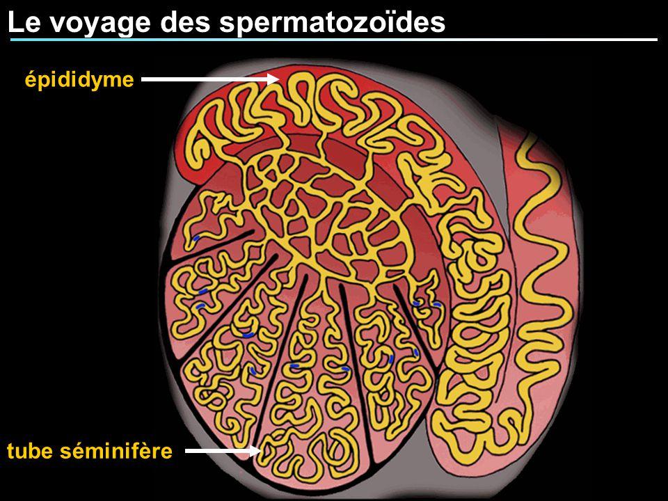 Le voyage des spermatozoïdes tube séminifère épididyme