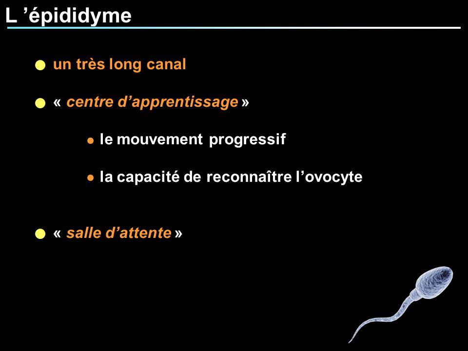 L épididyme un très long canal « centre dapprentissage » le mouvement progressif la capacité de reconnaître lovocyte « salle dattente »