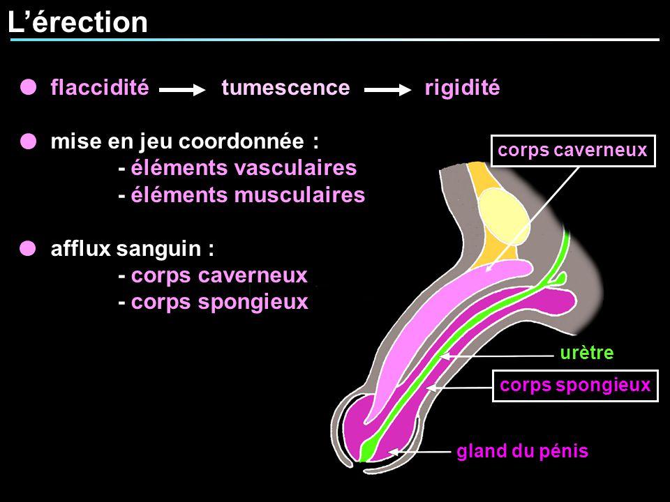 Lérection urètre corps spongieux gland du pénis corps caverneux flaccidité tumescence rigidité mise en jeu coordonnée : - éléments vasculaires - éléme
