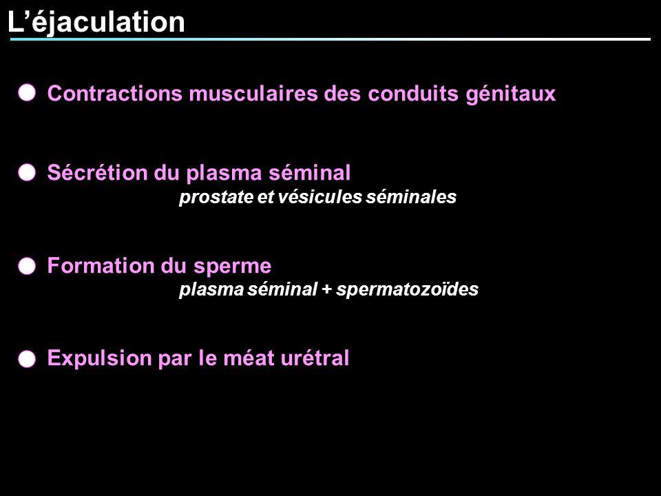 Léjaculation Contractions musculaires des conduits génitaux Sécrétion du plasma séminal prostate et vésicules séminales Formation du sperme plasma sém