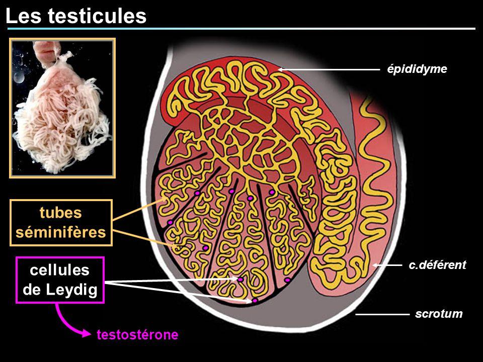 Les testicules tubes séminifères scrotum épididyme c.déférent testostérone cellules de Leydig