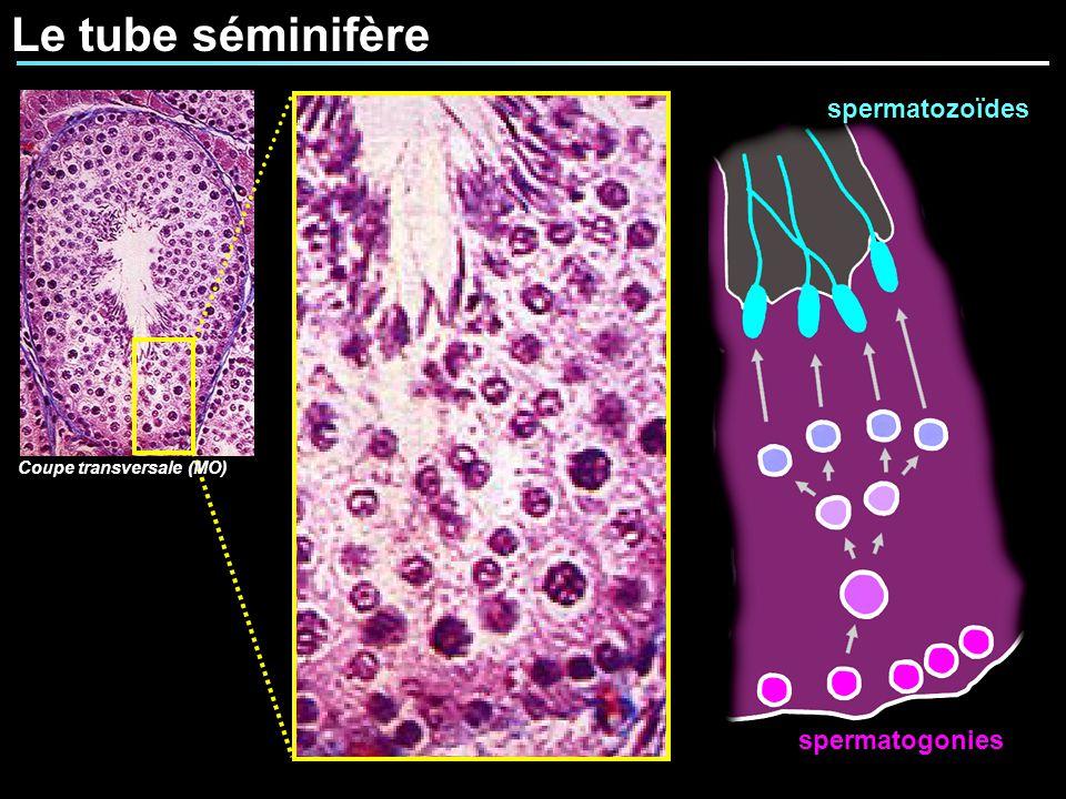 Le tube séminifère Coupe transversale (MO) spermatozoïdes spermatogonies