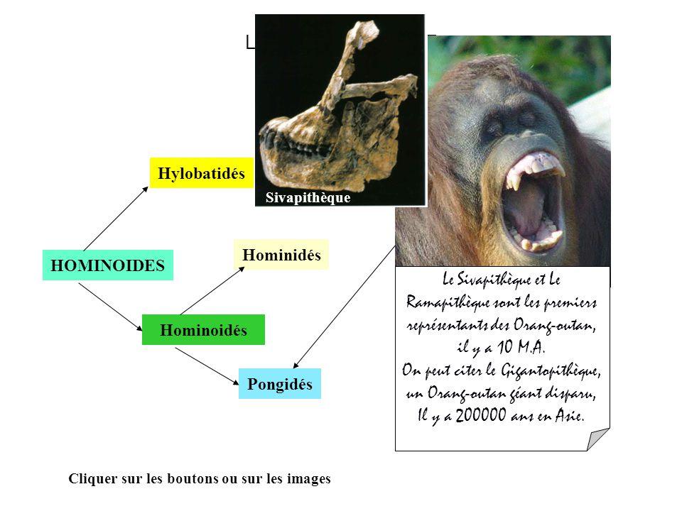 LA LIGNEE HUMAINE HOMINOIDES Hominoidés Hylobatidés Hominidés Cliquer sur les boutons ou sur les images LOuranopithèque : Est un fossile daté de 10 M.